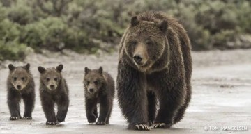 Grizzly Bears: They Still Need To Be Protected