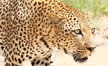 Big Cats Beyond Cecil: Protecting African Leopards