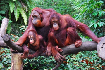 Orangutans: Humans of the Forest, Losing Their Forest