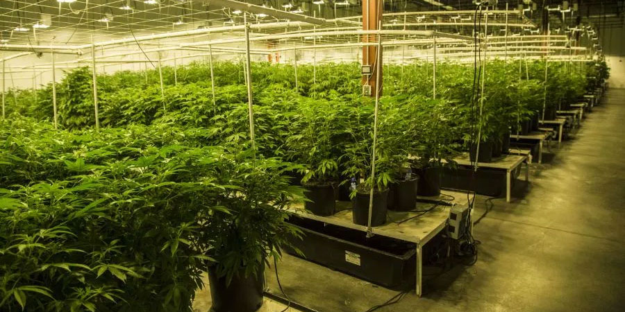 Colorado considers pesticides for use on cannabis plants