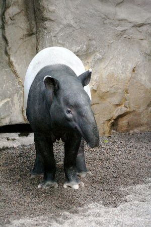 The Asian or Malayan Tapir (Tapirus indicus) Photo by jim Winstead CC BY 2.0.
