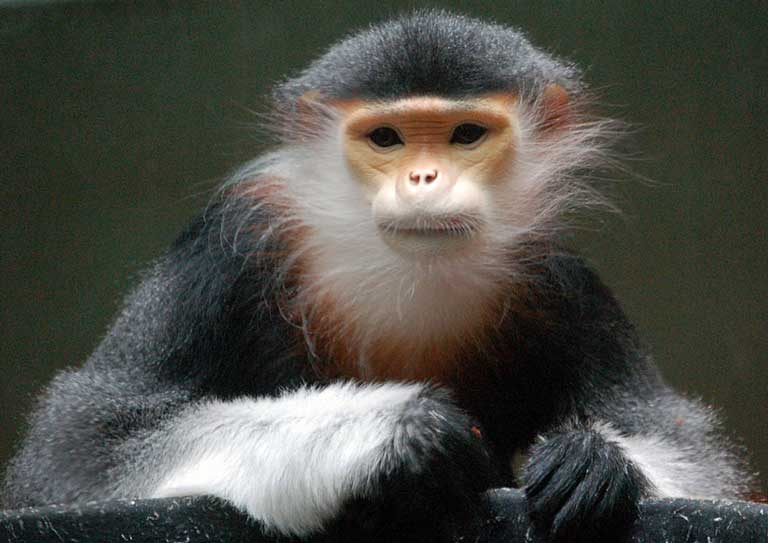 Often called the most beautiful of the monkeys, the Red-shanked Douc langur of Southeast Asia hasn't benefited much from its good looks. It is barely known to the public or most conservationists and is Endangered. Photo by Art G. on flickr CC BY 2.0