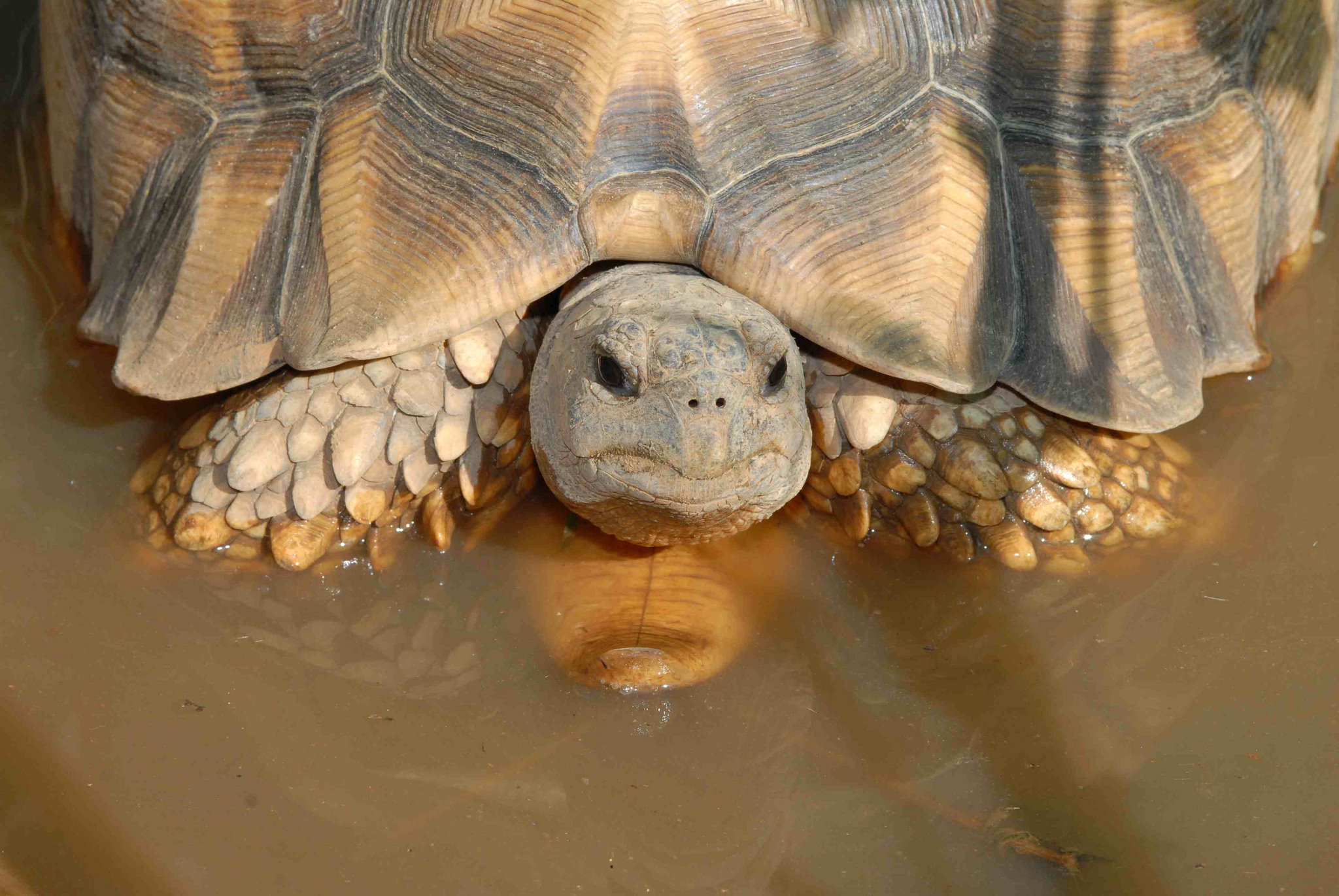 poaching of the ploughshare tortoise has reached its peak over the last year, conservationists warn. Photo by Peter Paul van Dijk/Global Wildlife Conservation.