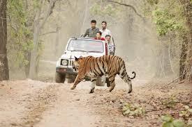 tiger-525