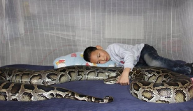 Chinese family have 4.5 metre python as babysitter
