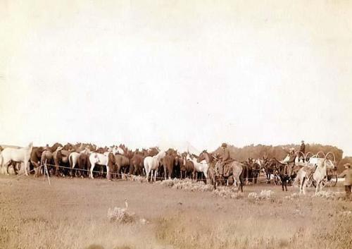 Cowboys roping mustangs.