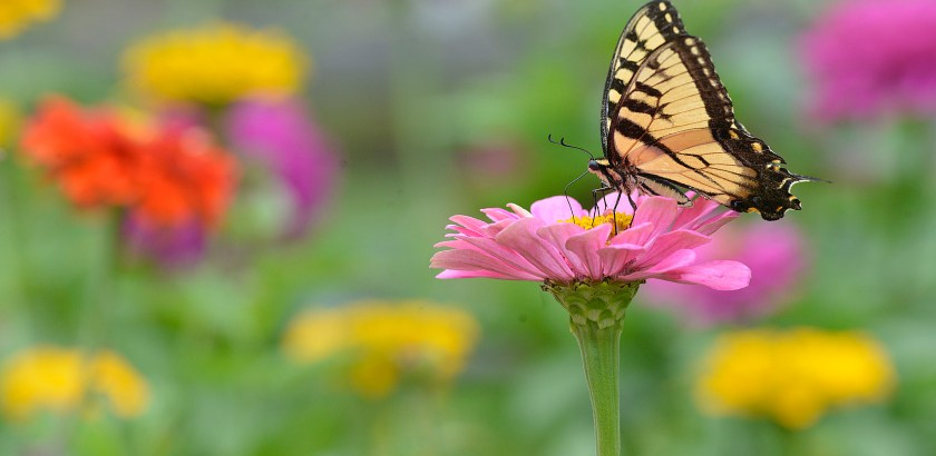 Larry Roberts/Post-Gazette   20160821   butterfly standalone    With the rain gone and the temperatures dropping, an Eastern tiger swallowtail butterfly appears in the demonstration garden at Corrigan Drive and McConkey Road in South Park, August 21, 2016