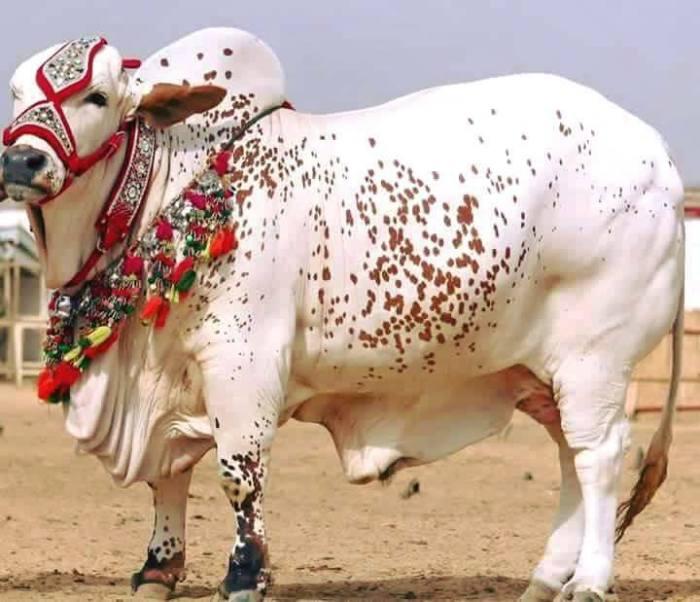 Best Bakra Eid ul adha HD wallpapers free download