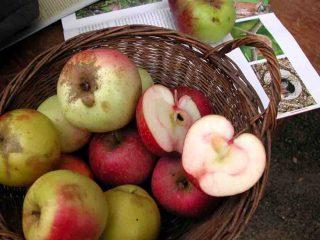 Biologisches Streuobst wird zu Apfelsaft verarbeitet. Foto: Birgit Ehses