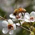 Der aus dem Nektar des Manukastrauches gewonnene Honig wirkt antibakteriell. © neuseelandhaus.de / Wirths PR
