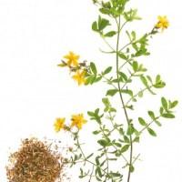 Johanniskraut - Inhaltsstoffe und Wirkung