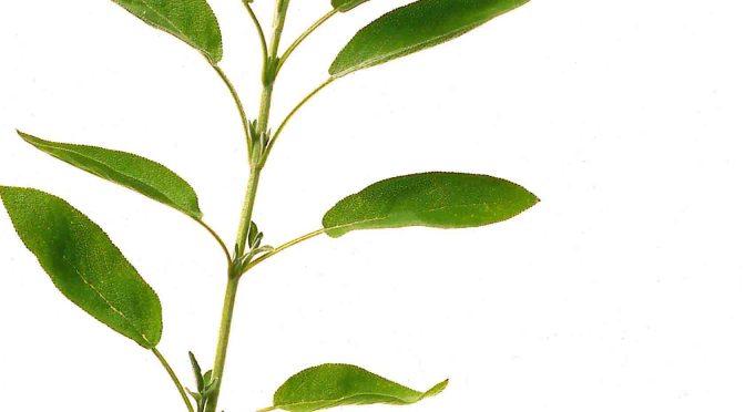 Die bekannteste Anwendungsform ist Salbei-Tee Foto: Wirths PR / Schoenenberger