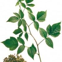 Brombeerblätter - Inhaltsstoffe und Wirkung