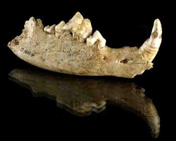 Unterkiefer des Hundes, der im Doppelgrab von Bonn-Oberkassel gefunden wurde. Forscher konnten nun anhand von genetischen Analysen zeigen, dass die Domestizierung des Hundes vor 18.000 bis 32.000 Jahren in Europa stattgefunden hat. © Foto: Jürgen Vogel/LVR-LandesMuseum Bonn