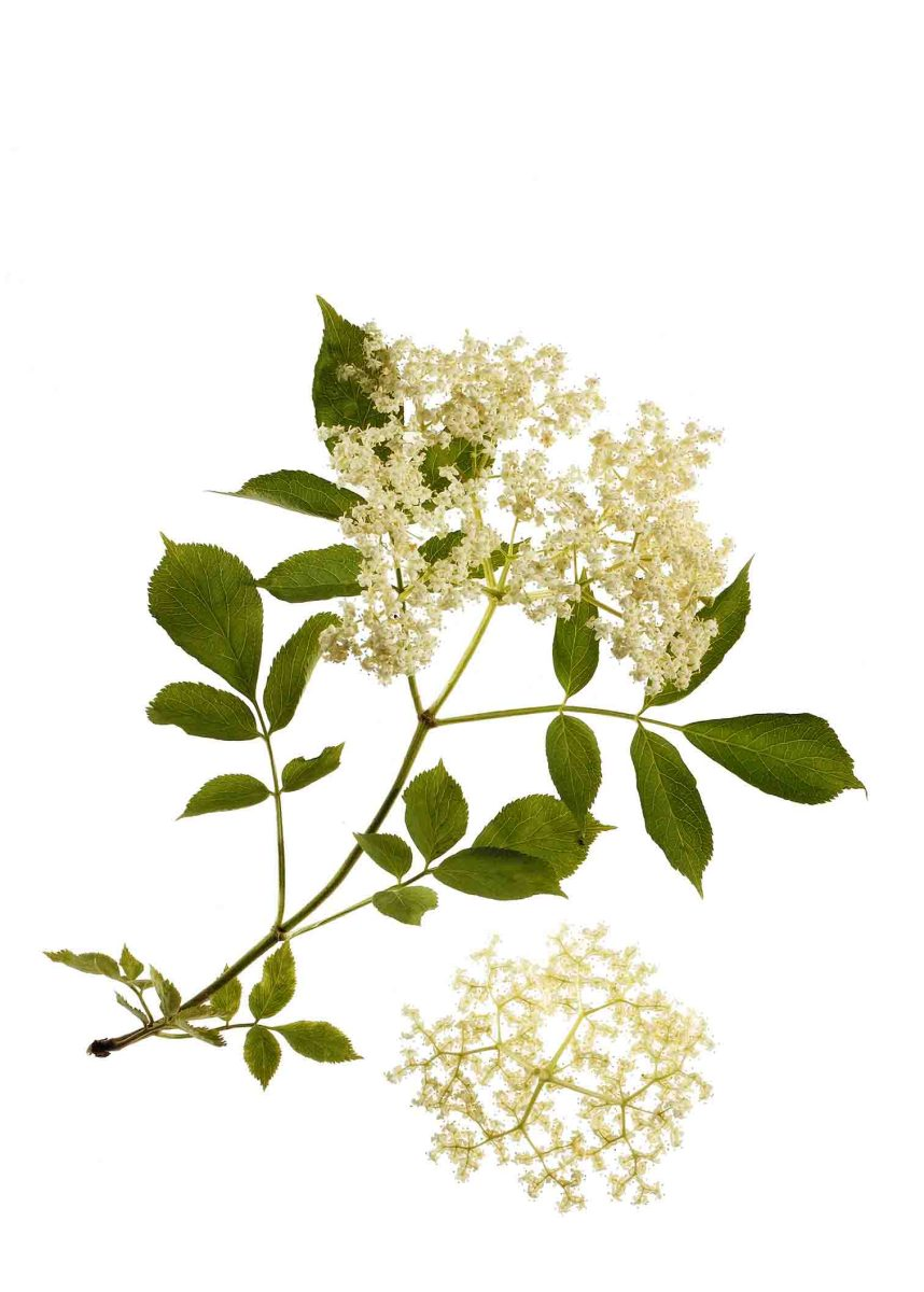 Holunderblüte - Inhaltsstoffe und Wirkung