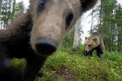 Braunbärenabenteuer in Finnland © Neckermann Reisen