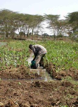 """Ewaso Narok Sumpf in Kenia: Nach Drainage können auf den fruchtbaren Böden hochwertige Gemüsekulturen für den Eigenverbrauch und den Markt erzeugt werden. Nicht nur der Umgang mit Ressourcen ist entscheidend für die Nachhaltigkeit intensiver Nutzungsformen. Auch deren Einfluss auf die Gesundheit der Bevölkerung wird im Projekt """"GlobE – Wetlands in East Africa"""" untersucht. © Foto: Mathias Becker/Uni Bonn"""