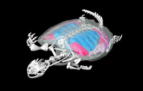 Computertomografie einer Amerikanischen Schnappschildkröte (Chelydra serpentina): Weiß dargestellt ist das Skelett, blau die Lungen und rot die Muskeln, die für die Luftventilation sorgen. Grafik: Emma R. Schachner