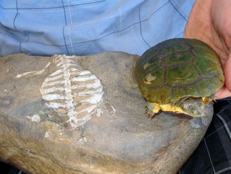 Im Vergleich: Links das rund 260 Millionen Jahre alte Fossil von Eunotosaurus africanus aus Südafrika und eine Schwarze Pelomedusenschildkröte (Pelusios niger). Vorläufer und moderne Schildkröte verfügen beide über das besondere Atmungssystem, das ohne Rippen auskommt. Foto: Luke Norton
