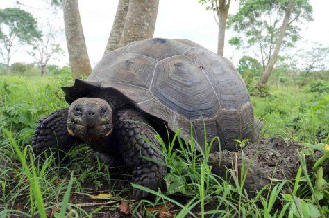 Galapágos-Riesenschildkröte von den Santa-Cruz-Inseln: Schildkröten haben einen eigentümlichen Atmungsmechanismus entwickelt, weil ihre Rippen zu einem Panzer umgewandelt sind. Foto: Markus Lambertz/Uni Bonn
