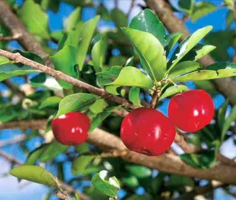 Die Acerolakirsche ist für den Transport zu empfindlich, deshalb wird sie meist zu Saft weiterverarbeitet. Er enthält weltweit am meisten natürliches Vitamin C, ungefähr 800 mg / 100 ml. © Schoenenberger