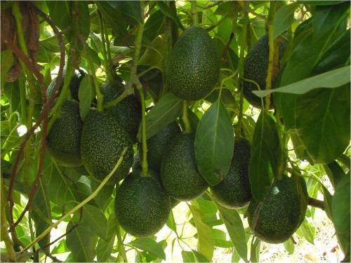 Medium Of Dwarf Avocado Tree