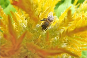 bee on celosia
