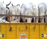 cattle-smuggling