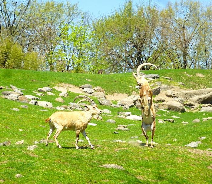 bronx zoo goats