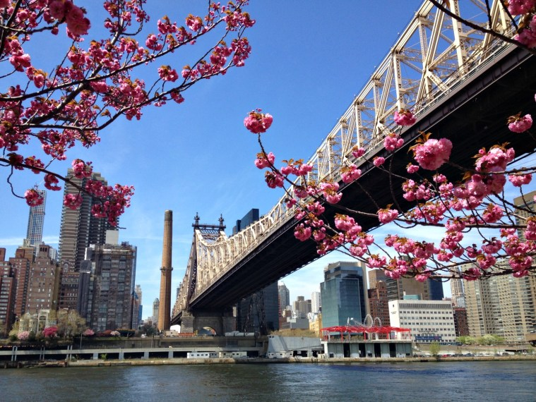 cherry-blossoms-queensboro-bridge