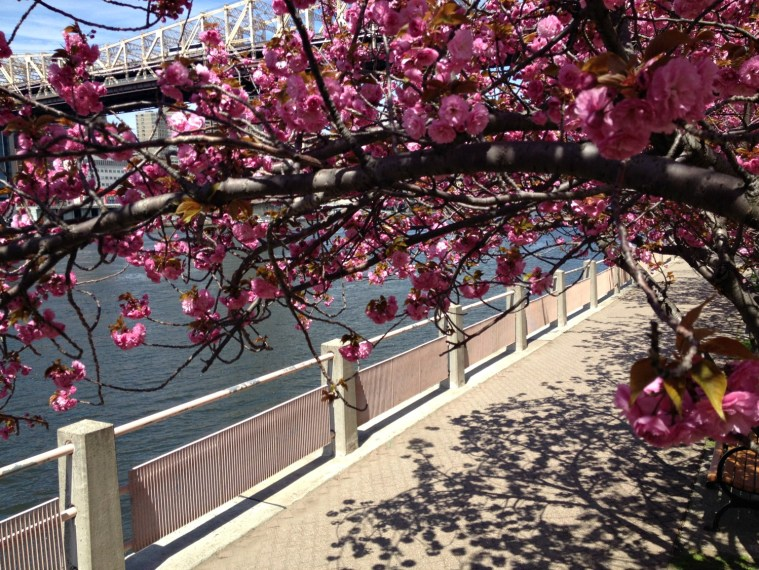 cherry-blossoms-ri