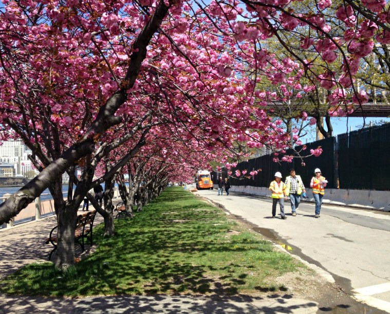 cherry-blossoms-roosevelt-is-nyc