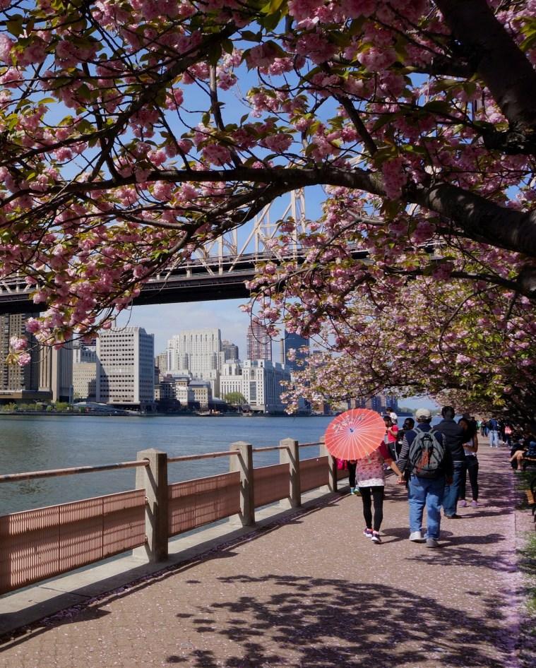 roosevelt-island-cherry-blossoms-nyc