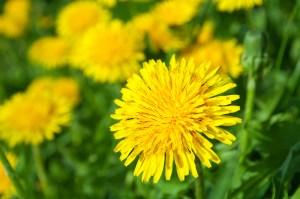 dandelion uses
