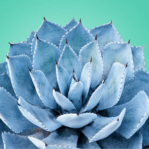 Blue Agave Fragrance