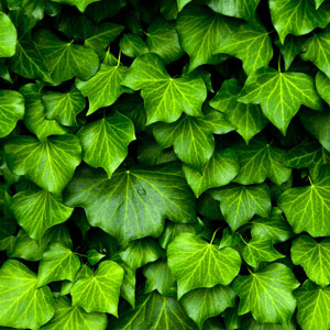 English Ivy Fragrance Oil