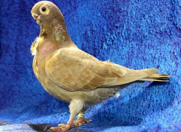African Owl Pigeon
