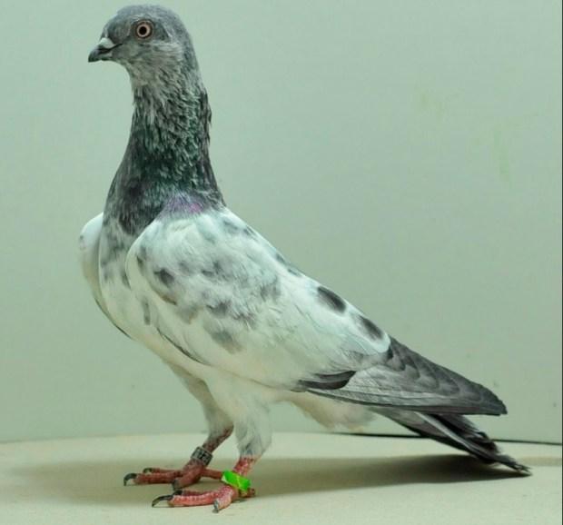 Budapest Highflyer Pigeon