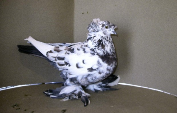 English Trumpeter Pigeon