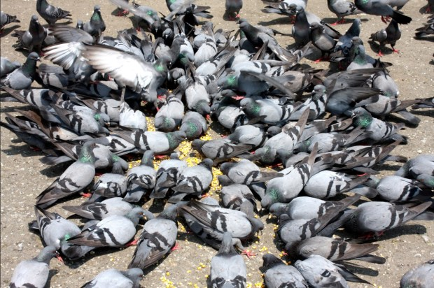 Healthy Pigeon Feed