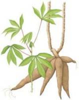 cassava-plant