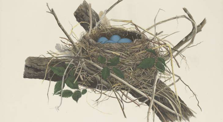 robin-eggs-nest