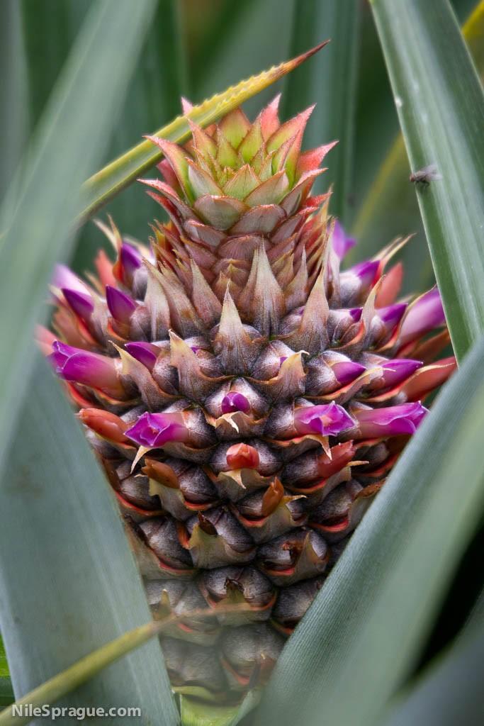Flor de Piña