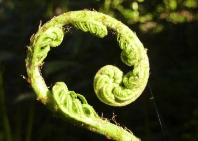 Curled baby fern