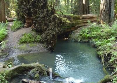 Roots of huge fallen redwood tree