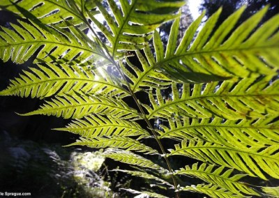 Underside of fern backlit by sun