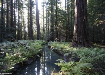 Ferns, creek, and huge redwood