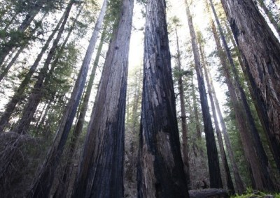 Huge redwood trees showing burn marks from 2008 fire