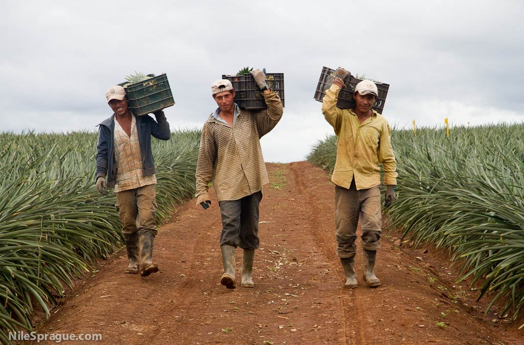 Men carrying crates of pineapple
