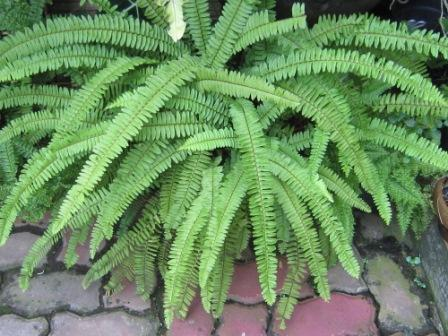 FERN...the most beautiful leaves ever.. (6/6)
